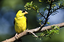456040095 American Goldfinch 220